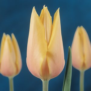 Tulipe simple tardive 'Blushing Beauty'