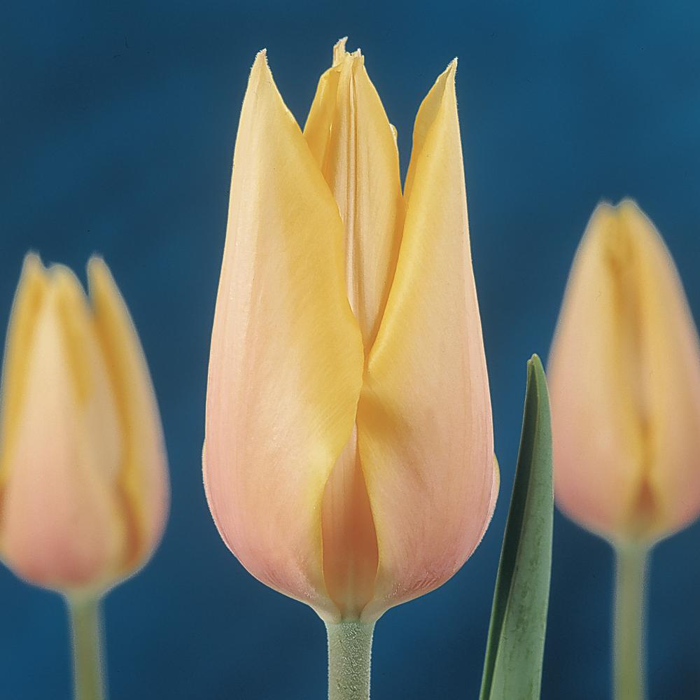 Tulipe simple tardive 'Blushing Beauty'