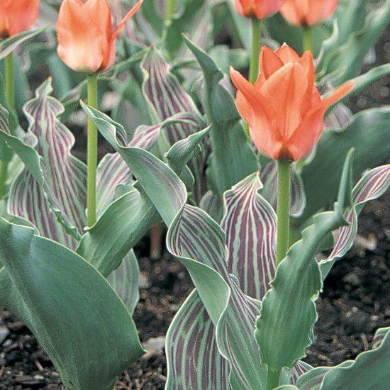 Tulipe botanique 'Oratorio'