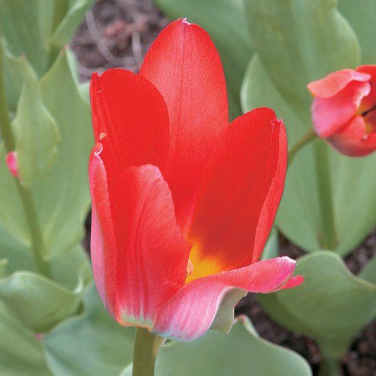Tulipe botanique 'Shakespeare'