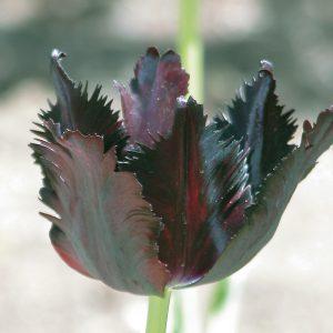 Tulipe perroquet 'Black Parrot'