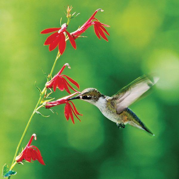 5 fleurs pour attirer les colibris