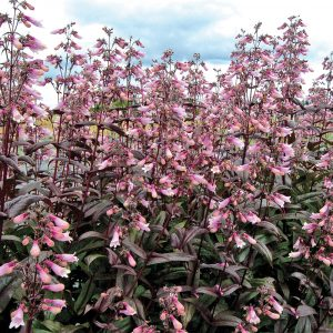 Penstemon digité 'Dark Towers'