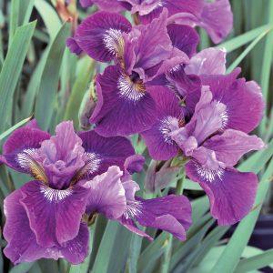 Iris de Sibérie 'Lady Vanessa'