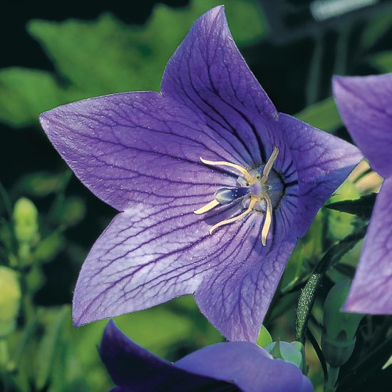 Platycodon à grande fleurs 'Fuji Blue'
