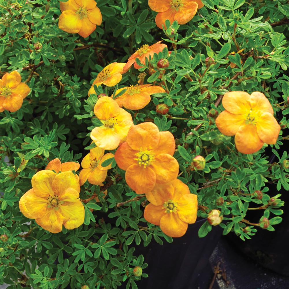 Potentille 'Orangeade'