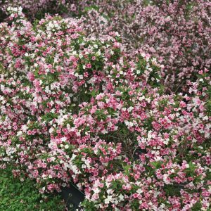 Weigela Czechmark Trilogy™