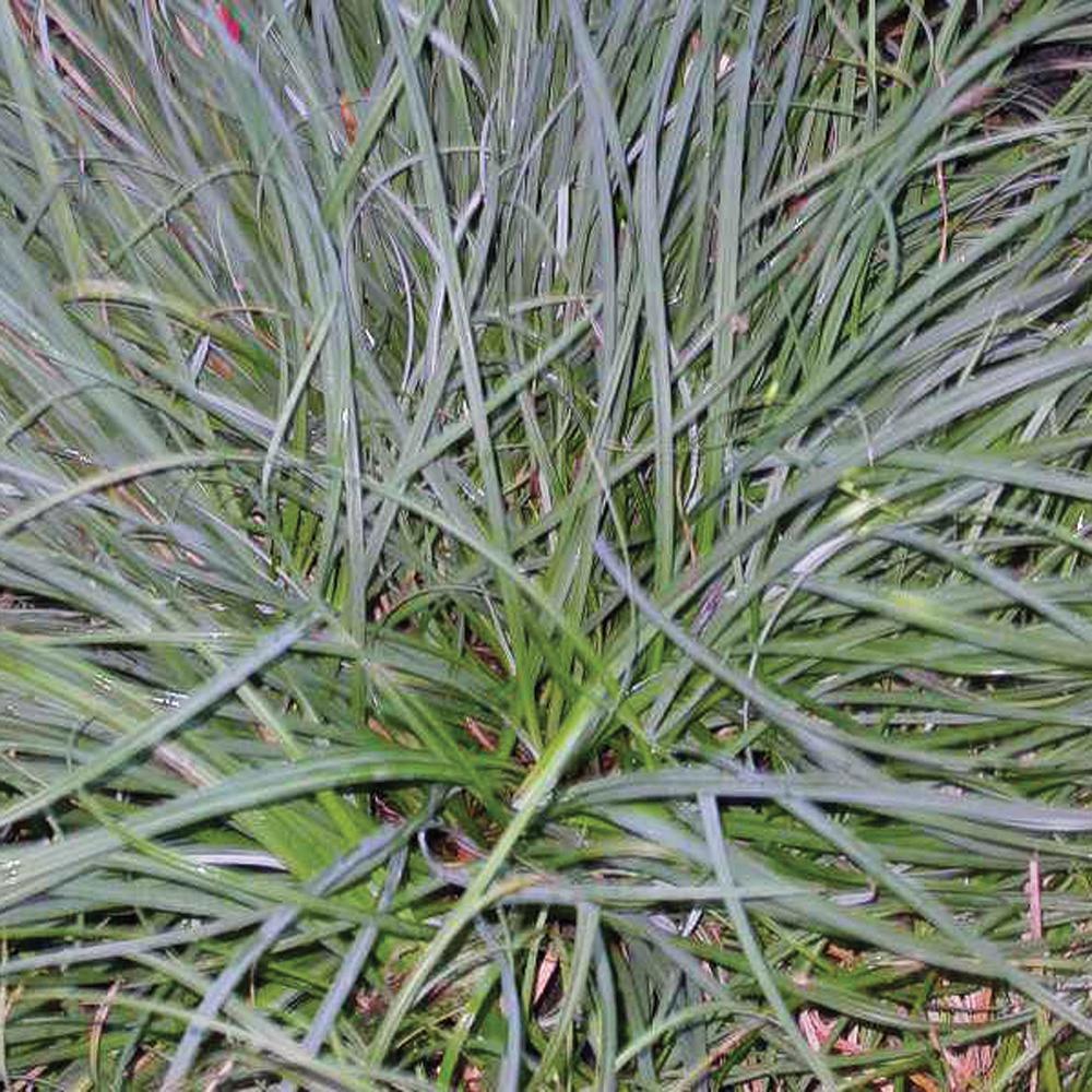 Carex 'Blue Zinger'