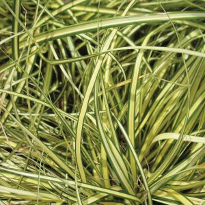 Carex 'Everoro'