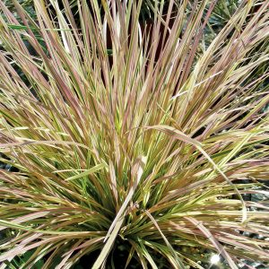 Deschampsie 'Northern Lights'