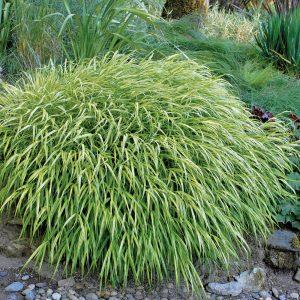 Herbe d'Hakone 'Aureola'