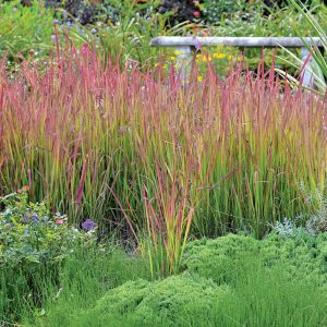 Herbe rouge japonaise 'Red Baron'