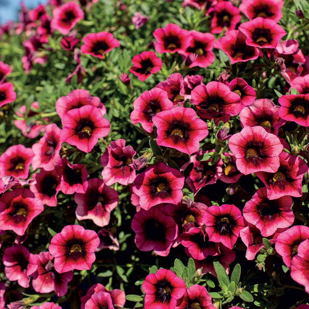 Calibrachoa Superbells® Watermelon Punch™
