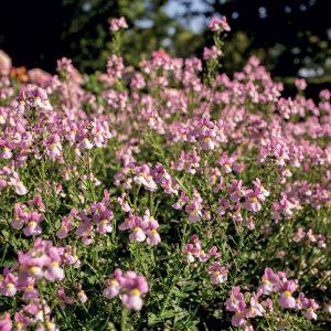 Némésie buissonnante Aromance™ Pink