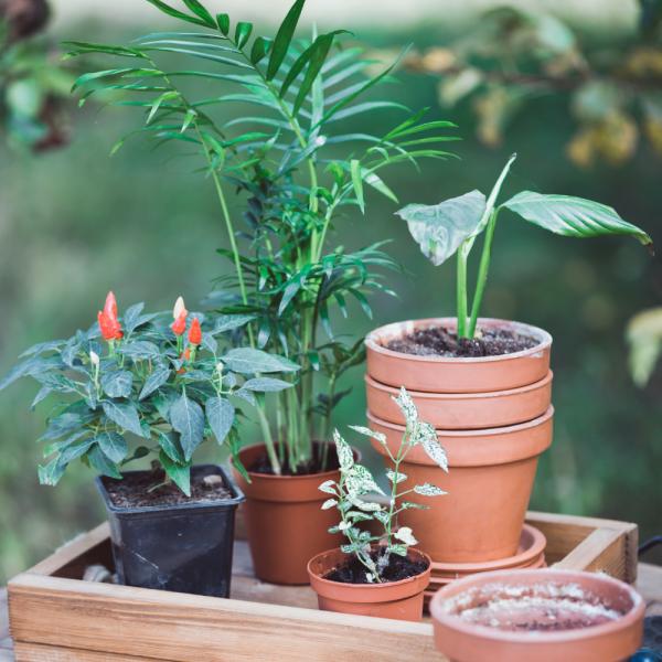 Comment transplanter une plante en pot