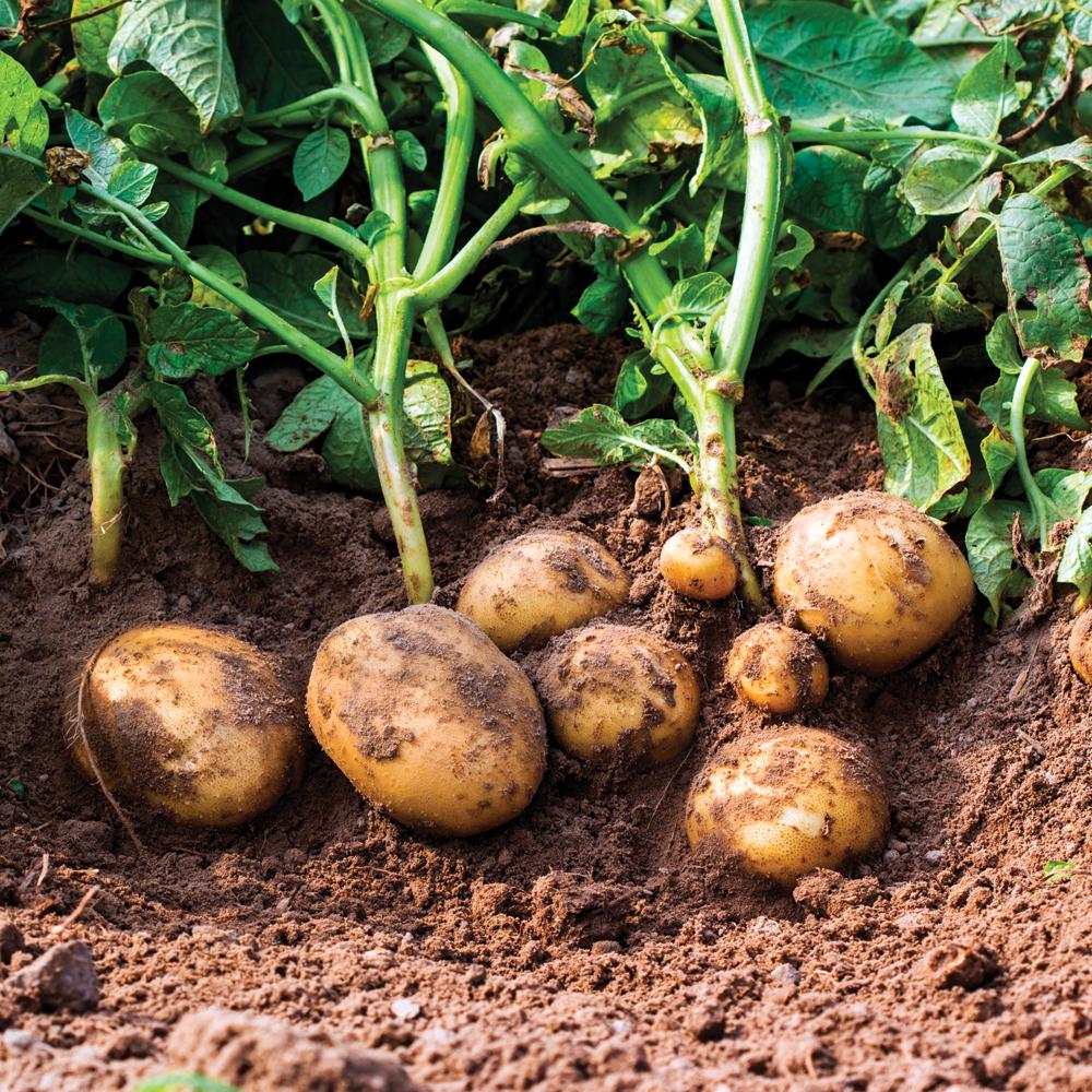 Les 10 légumes incontournables à mettre dans son potager