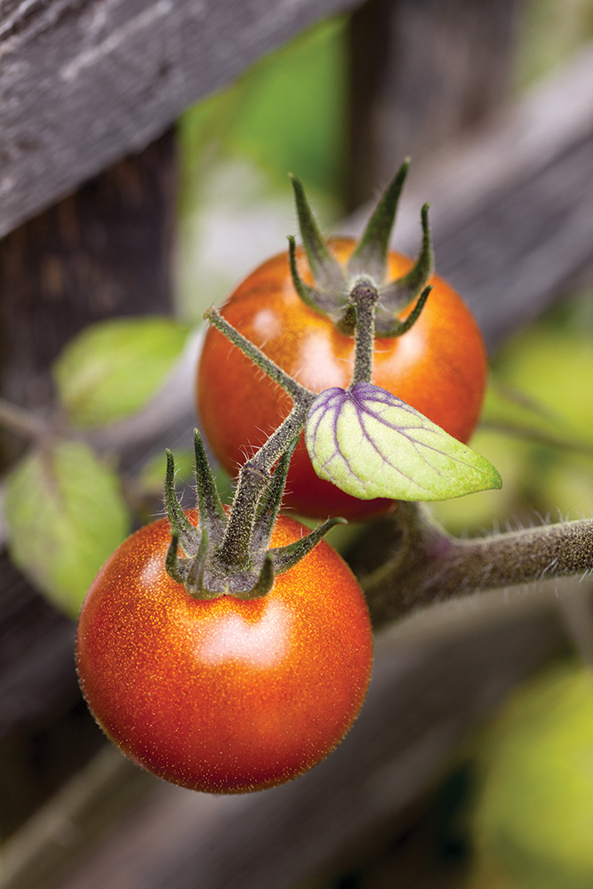 L'ABC de la tomate
