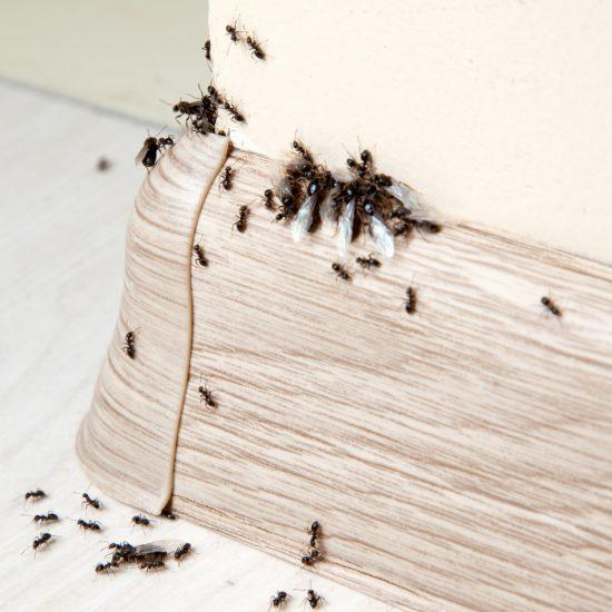 Comment se débarrasser des fourmis sans insecticide