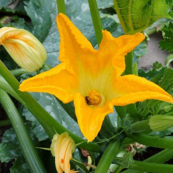Comment polliniser les fleurs de courgettes