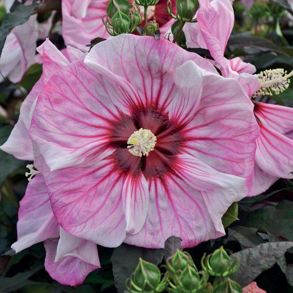 6 variétés d'hibiscus à ajouter à votre jardin