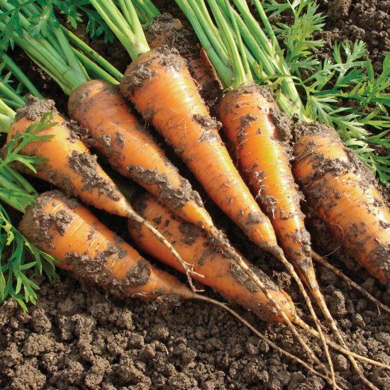 5 légumes racines à récolter en août