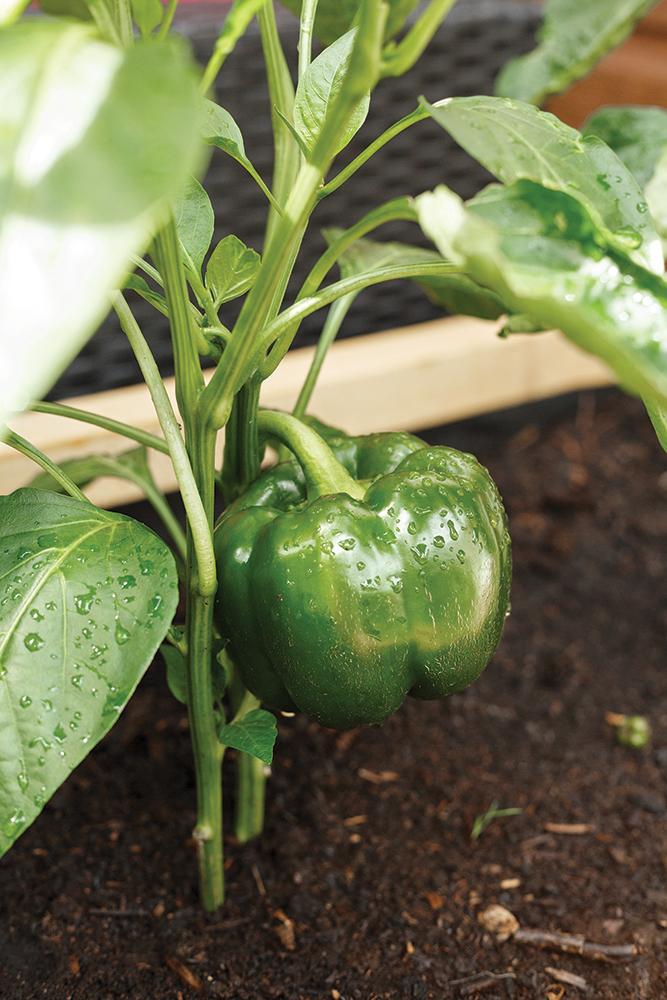 Comment amener à maturité les légumes qui n'aiment pas le froid?